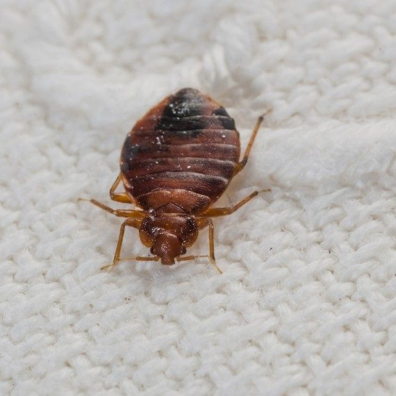 Bed Bugs, Pest Control in Caterham, Chaldon, Woldingham, CR3. Call Now! 020 8166 9746