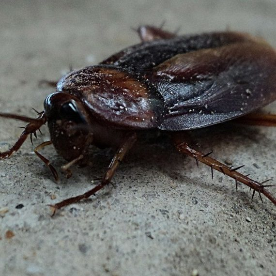 Cockroaches, Pest Control in Caterham, Chaldon, Woldingham, CR3. Call Now! 020 8166 9746