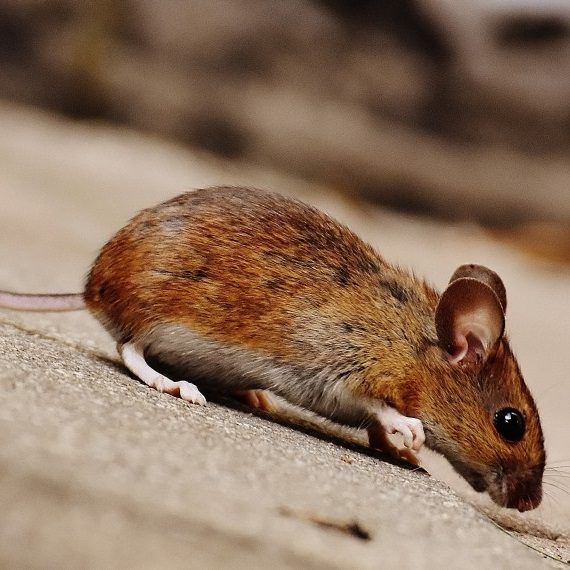 Mice, Pest Control in Caterham, Chaldon, Woldingham, CR3. Call Now! 020 8166 9746