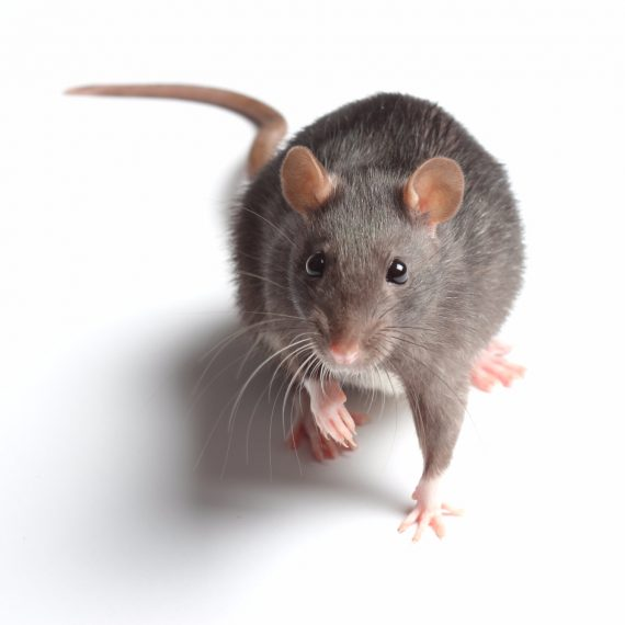 Rats, Pest Control in Caterham, Chaldon, Woldingham, CR3. Call Now! 020 8166 9746