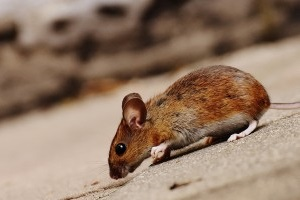 Mouse extermination, Pest Control in Caterham, Chaldon, Woldingham, CR3. Call Now 020 8166 9746