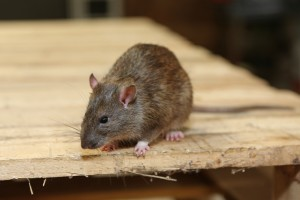 Mice Infestation, Pest Control in Caterham, Chaldon, Woldingham, CR3. Call Now 020 8166 9746